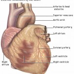 heart_anatomy